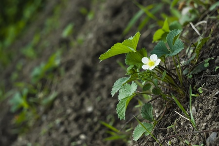 strawberry in spring with flower photo