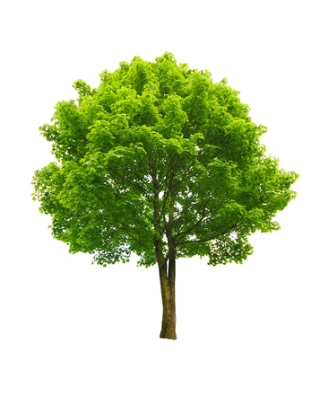 big leafs: fresh green tree isolated on white