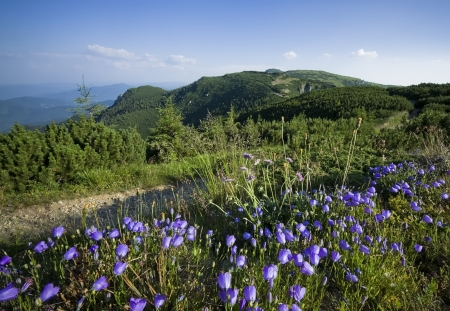 Beautiful landscape in Carpathian mountains with meadow blue flowers photo