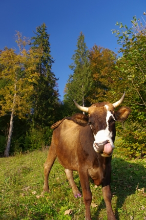 closeup cow face: cow in autumn landscape