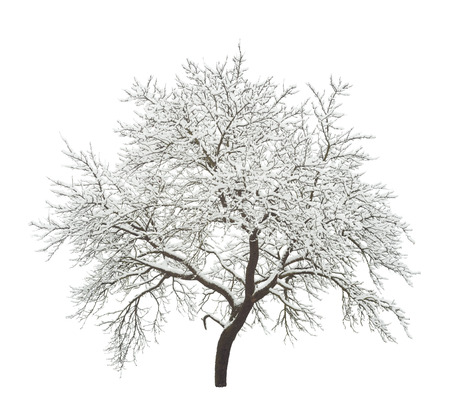 white winter: winter tree isolated on white