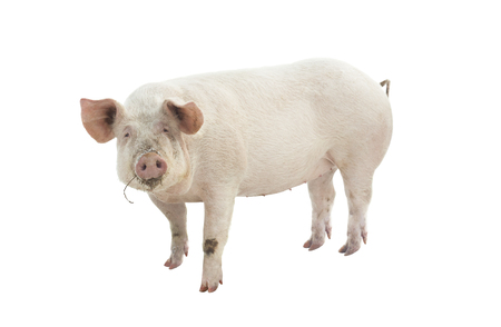 pig animal isolated on white Фото со стока