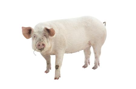 varken dier op wit wordt geïsoleerd Stockfoto