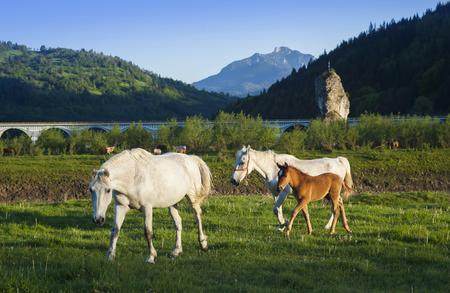 beautiful horse in nature, Romania