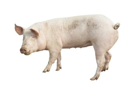 pig animal isolated on white Reklamní fotografie