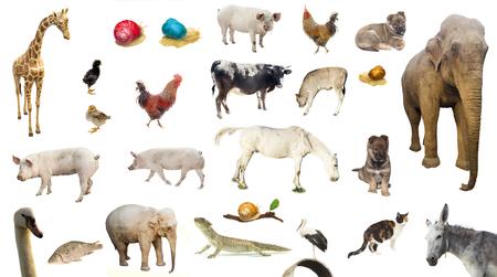 ensemble d'animaux de ferme sauvages et domestiques. poulet, porc, vache isolé sur fond blanc