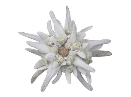 edelweiss flower isolated on white background Stock Photo