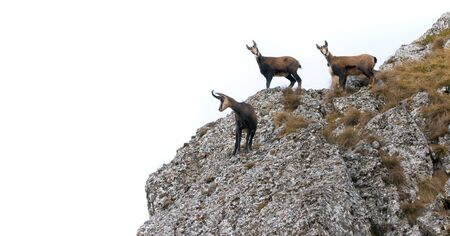three wild chamois goat isolated on white background. Stok Fotoğraf