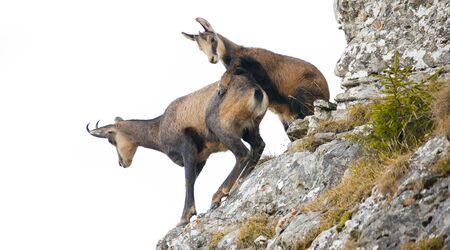 deux chèvres chamois sauvages isolées sur fond blanc. Banque d'images