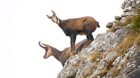 two wild chamois goat isolated on white background.