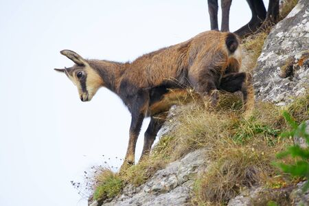 wild chamois goat climbing on big rocks