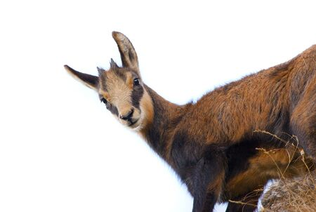 baby chamois goat isolated on white background