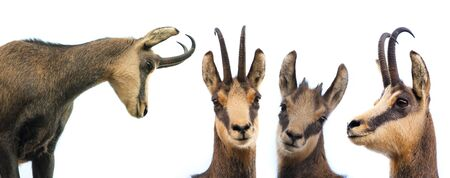 set of wild chamois goat isolated on white background Stok Fotoğraf