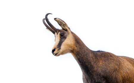 beautiful chamois goat isolated on white background