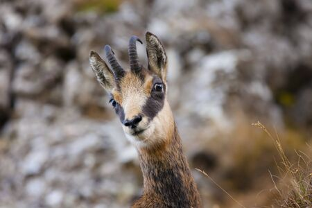beautiful chamois goat looking at camera.
