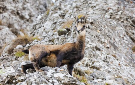wild ghamois goat in Romanian Carpathians. rock background in nature
