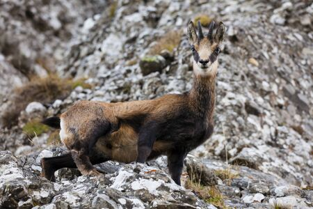 wild ghamois goat looking at camera. rock background in nature Stok Fotoğraf