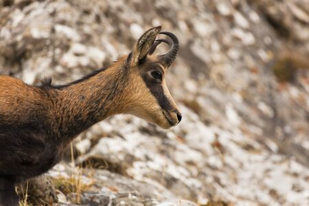portrait head of wild chamois goat on rock background