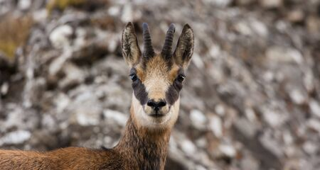 beautiful baby chamois goat looking at camera.