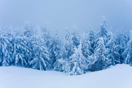 winter trees in the forest. snowing scene with fog