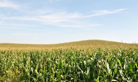 Corn field Stock Photo - 17570264