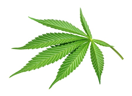 Cannabis leaf isolated on white background photo