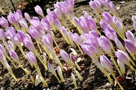 falltime: purple meadow saffron in a botanical garden