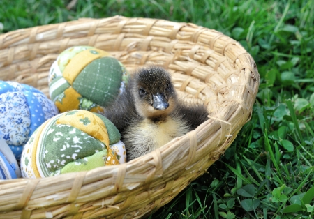 hatched: freshly hatched duck with easter eggs - spring Stock Photo