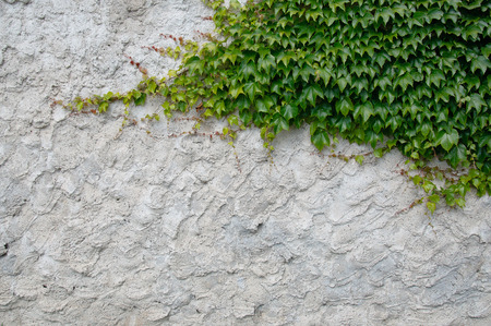 creeping: vecchio intonaco fresco con strisciante edera verde Archivio Fotografico