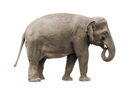 Aziatische olifant vrouwelijke geïsoleerd op een witte achtergrond.