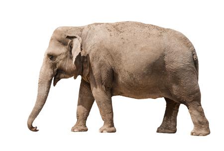 Asian elephant female isolated on white background. photo