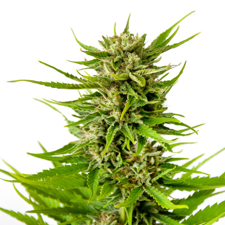 marihuana: Brote de marihuana fresca aislada en el fondo blanco