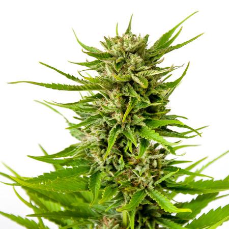 hemp: Frische Marihuana Knospe isoliert auf weißem Hintergrund