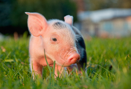 grunter: Young cute pink piggy in green grass