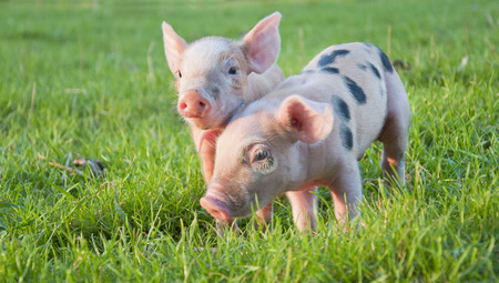 Young cute pink pigs in green grass photo