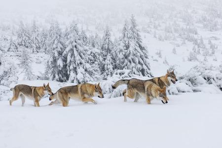 Vier Wölfe im frischen Schnee in den Bergen Standard-Bild