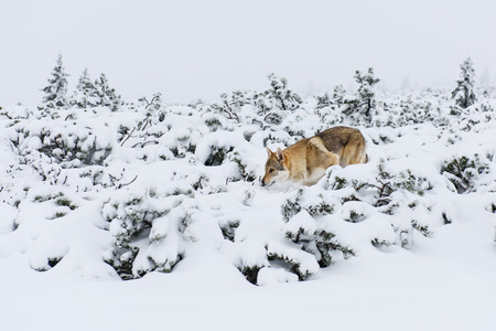 sneaks: Wolf sneaks in fresh snow in the mountains Stock Photo