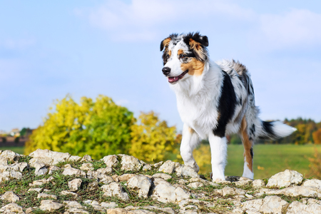 Young cute Australian shepheard on the hill Stock Photo