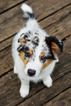 shepperd: Cute Australian shepperd little blue merle puppy look