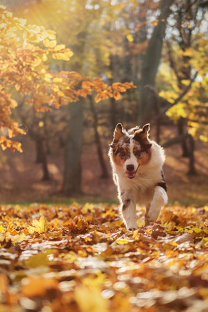 Australian Shepherd puppy in the autumn forest, 6 months Stock Photo