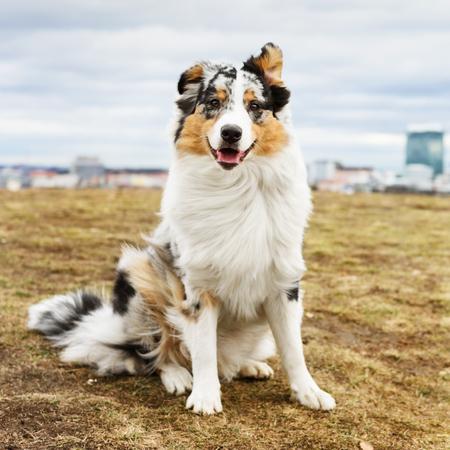 Young and cute Australian Shepherd dog - outdoor