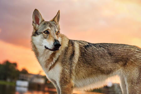 Beautiful wolf at the river at sunset