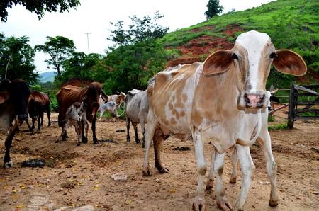 Cows nursing their young