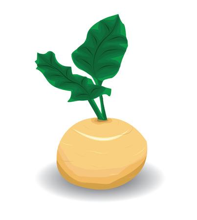turnip: Vector turnip