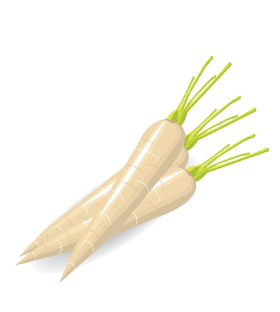 turnip: Turnip vector Illustration