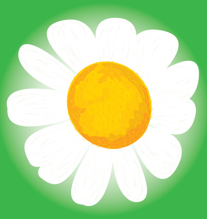 camomile: Camomile flower isolated,