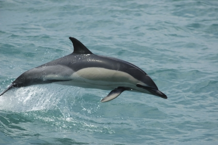 a bottle-nose dolphin swimming off the coast of gibraltar photo