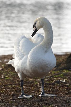 très grand oiseau d'eau blanche, au long cou, bec orange et noir à la base de celui-ci Banque d'images - 9239607