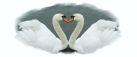 for the love of a couple of white swans photo