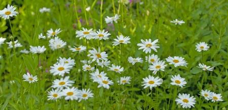 shasta daisy: Shasta Daisies Bear Large White, Daisy Flowers from June to September